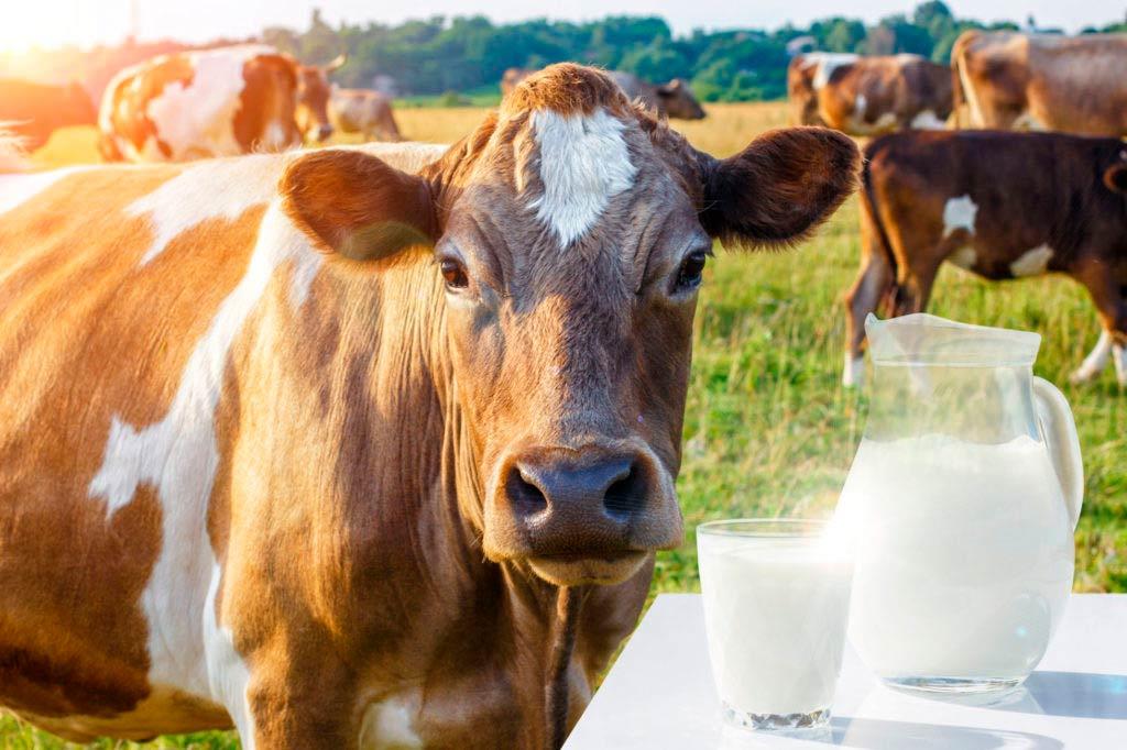 vaca leche calcio